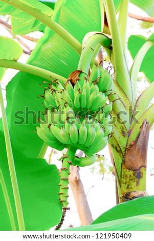 Close up shot of a Banana tree with a bunch of bananas. - stock photo