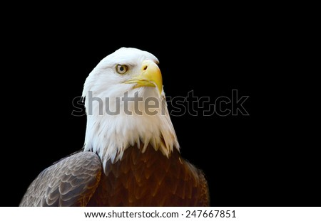 Close up shot of a bold Eagle isolated on black - stock photo