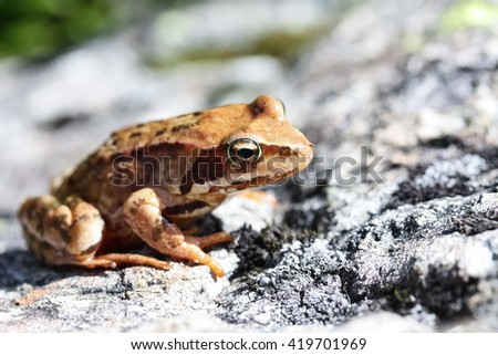 Close up shot of a brown common frog sunbathing on a rock - stock photo