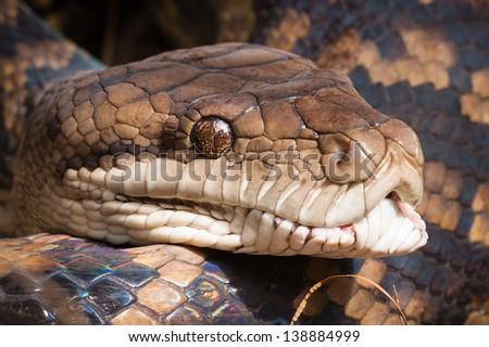 Close-up shot of a Carpet python, Queensland, Australia - stock photo