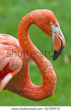 Close up shot of a flamingo profile. - stock photo
