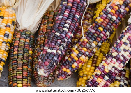 Close up shot of a freshly plucked Indian corn. - stock photo