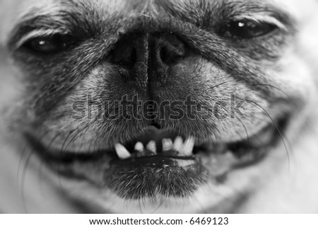 Close up shot of a funny smiling pug face