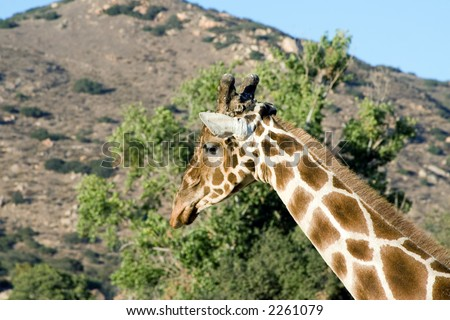 Close up shot of a giraffe