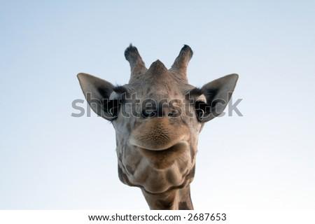 Close up shot of a giraffe - stock photo