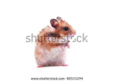 close up shot of a hamster isolated on white - stock photo