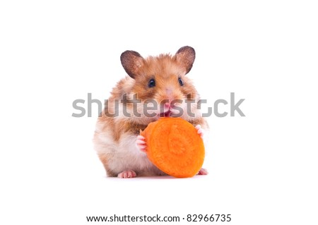 close up shot of a hamster on white background - stock photo
