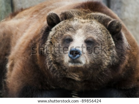 Close-up shot of a Huge Grizzly Bear - stock photo