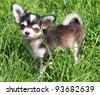 Close up shot of a 4 month old Bonny the Chihuahua pup , with the Urajiro coloring, posing in grass - stock photo