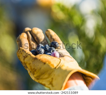 Close up shot of a persons hand in a weathered leather glove holding olives at a olive harvest in Paso Robles, California - stock photo