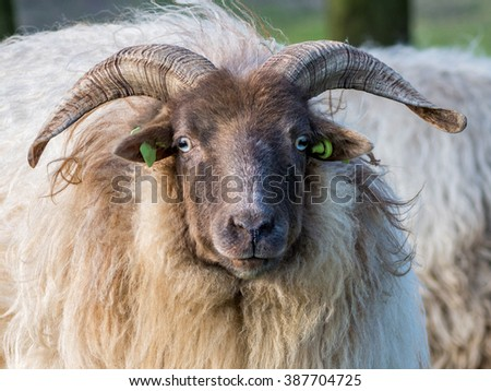 Close up shot of a Ram - stock photo