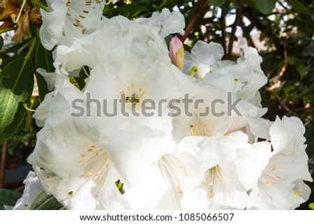 Close shot rhododendron blooming bush plant stock photo edit now close up shot of a rhododendron blooming bush plant beautiful big white flowers mightylinksfo