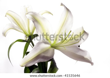 close up shot of a white lily