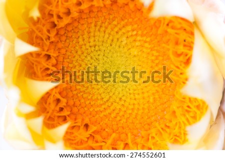 Close up shot of a yellow and orange Australian Paper Daisy showing the petals and pollen.