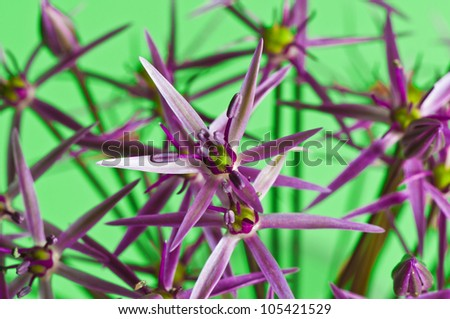 Close-up shot of an Allium Christophii with a green colored background - stock photo