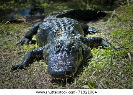 Close-up shot of an American Alligator taken in Everglades National Park
