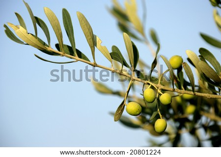 close up shot of an olive tree - stock photo