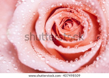 close-up shot of an orange reddish rose in fresh blossom with droplets - stock photo
