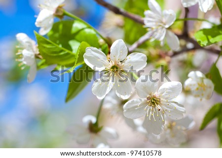 close-up shot of apple blooming - stock photo