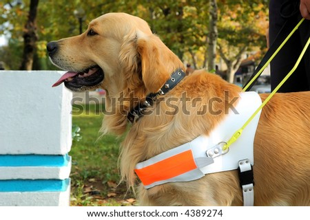 Close up shot of assistant dog - stock photo