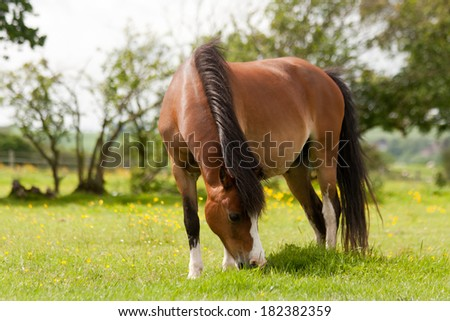 Close up shot of beautiful bay pony grazing in the Shropshire countryside. - stock photo