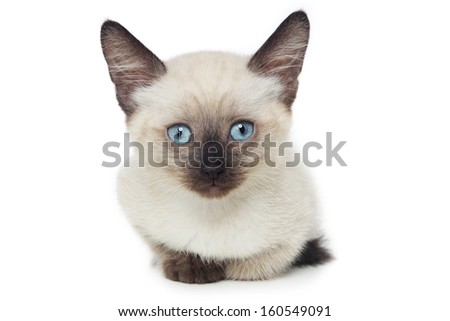 Close-up shot of beautiful blue-eyed thai kitten over white background - stock photo