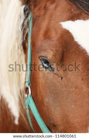 Close up shot of beautiful part blue horse eye. - stock photo