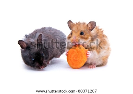 close up shot of black and red hamsters isolated on white - stock photo