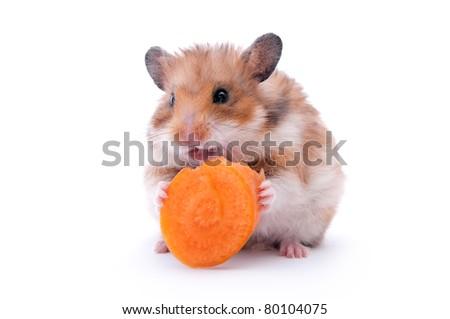 close up shot of black hamster isolated on white - stock photo