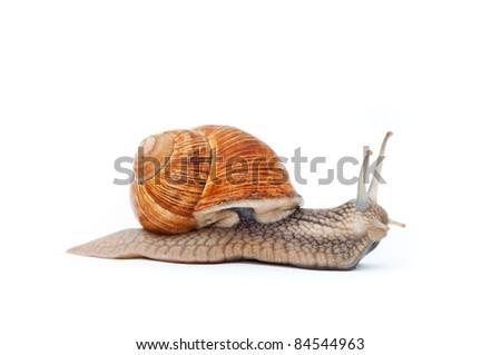 Close up shot of Burgundy (Roman) snail isolated on white background - stock photo