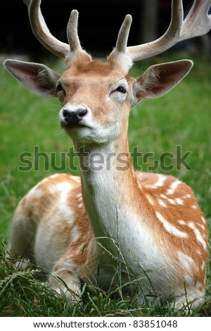 Close Up Shot of Fallow Deer. - stock photo