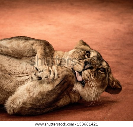Close-up shot of funny lioness - stock photo
