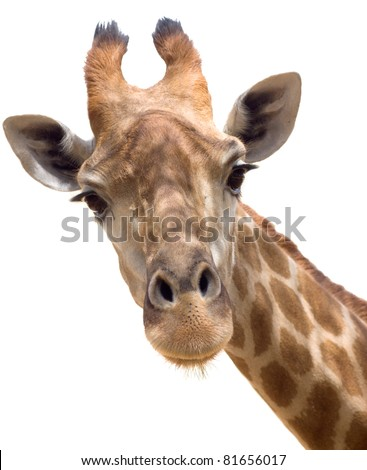Close up shot of giraffe head isolate on white - stock photo