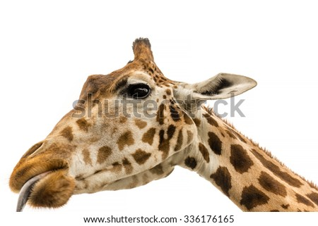 Close up shot of giraffe head showing tongue  isolate on white