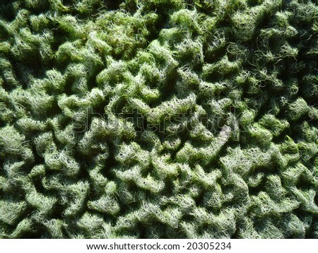 Close up shot of green algae (Spirogrya) which is drying up and create an interesting pattern - stock photo