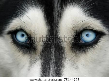 close-up shot of husky dog blue eyes - stock photo