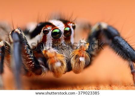 Close up shot of Jumping spider (Plexippus paykulli) - stock photo