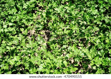 close up shot of organic parsley in field.