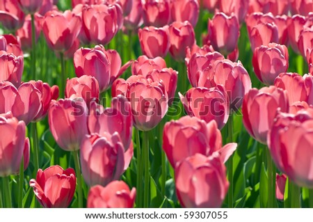 Close-up shot of pink tulips. Shallow dof. - stock photo