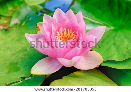 Close up shot of pink water lily - stock photo