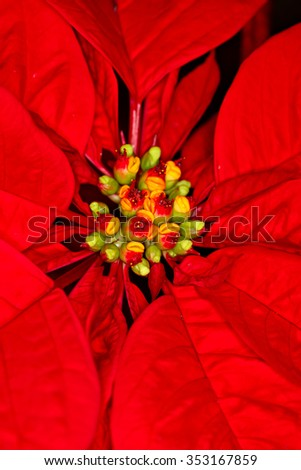 Close-up shot of Poinsettia, the christmas flower, shallow focus - stock photo