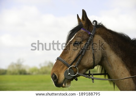 Close up shot of pretty tacked up clipped horse outdoors - stock photo