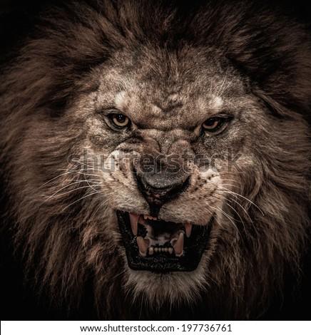 Close-up shot of roaring lion - stock photo