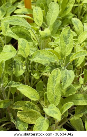Close up shot of sage leaves - Salvia Officinalis Jecterina - stock photo