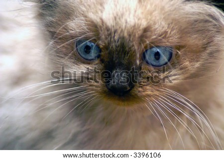 Close up shot of seal point himalayan kitten with round blue eyes