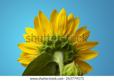 Close up shot of the back of a sunflower on a blue background. - stock photo