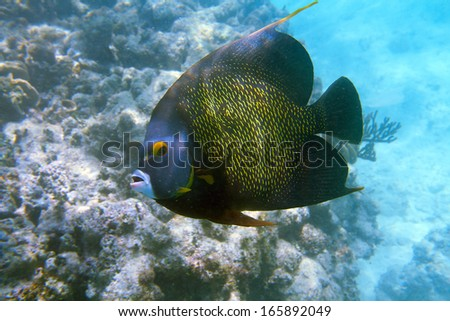 Close-up shot of the french angelfish. Shallow focus. Riviera Maya