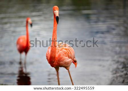Close-up shot of the pink caribbean flamingo, shallow focus. - stock photo