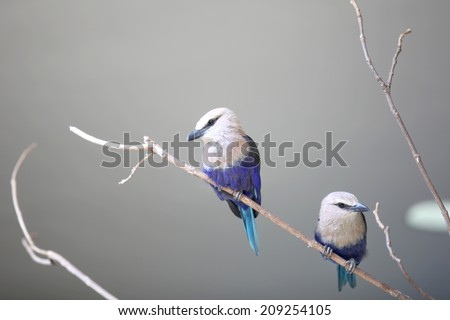 Close up shot of two little Blue Jay birds on a branch - stock photo