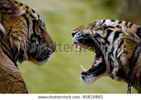 Close up shot of two tigers communicating. Roaring tiger with bare teeth. Thailand - stock photo